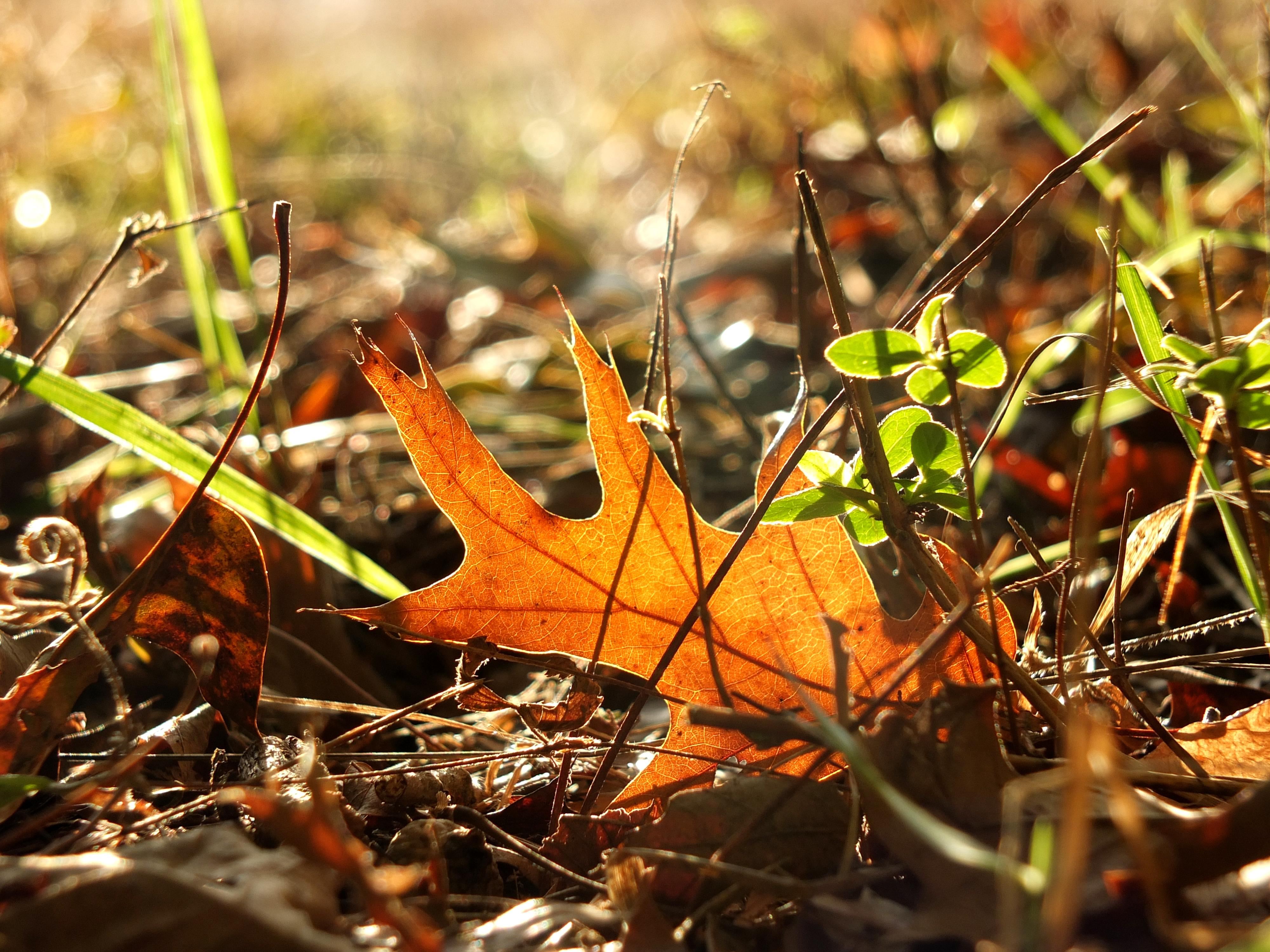 fallen-oak-leaf-sun-3143